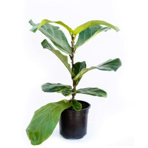 Ficus Layrata (Fiddle Leaf Fig)